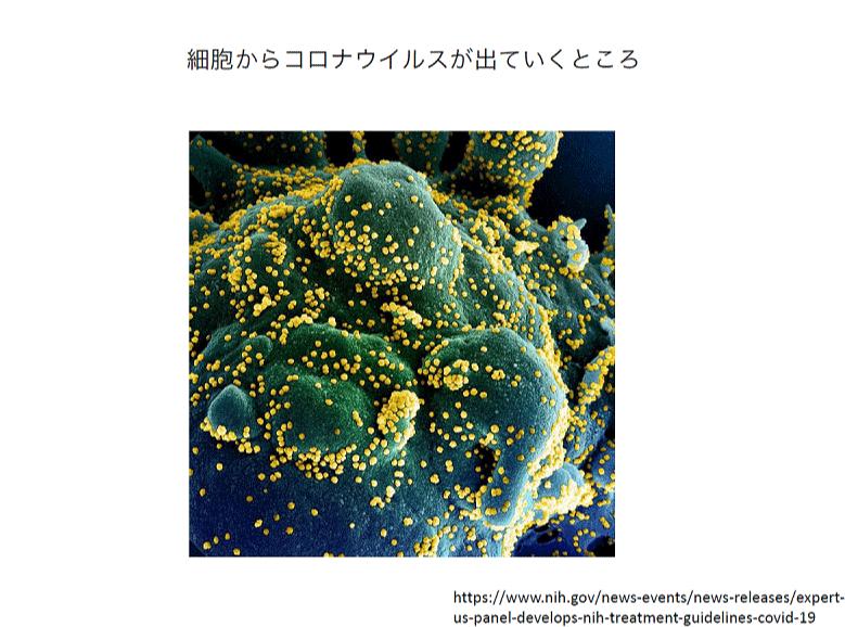 細胞からコロナウイルスが出ていくところ