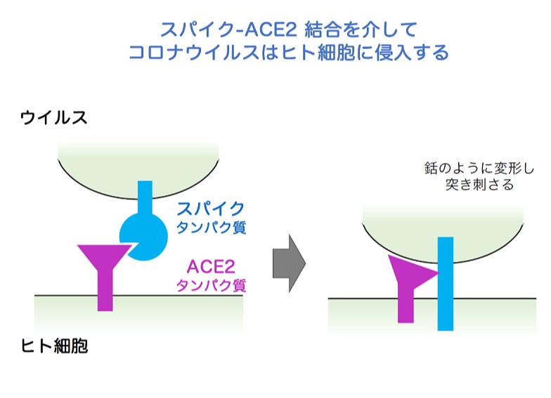 スパイク-ACE2 結合を介してコロナウイルスはヒト細胞に侵入する