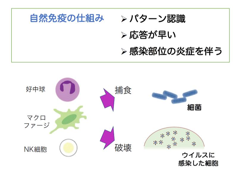 自然免疫の仕組み
