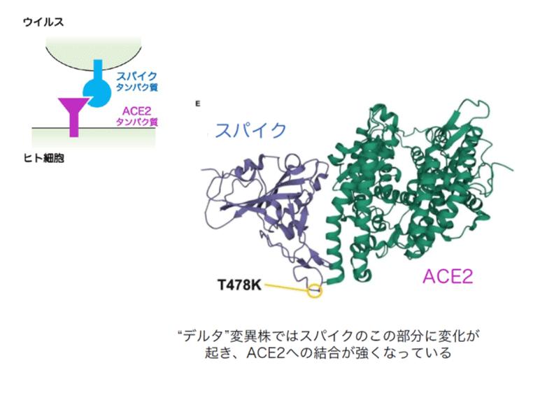 """""""デルタ""""変異株ではスパイクのこの部分に変化が起き、ACE2への結合が強くなっている"""